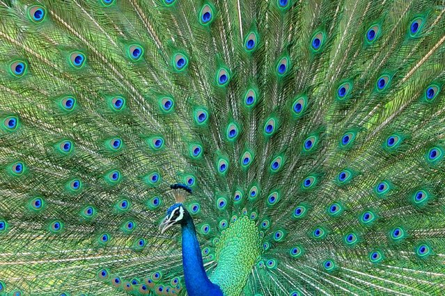 A male peacock displays its feathers at Sri Lanka's Yala National Park, in the southern district of Yala, some 250 kms southwest of Colombo, on January 15, 2014.Yala National Park is the most visited and second largest national park in Sri Lanka. (Photo by Lakruwan Wanniarachchi/AFP Photo)