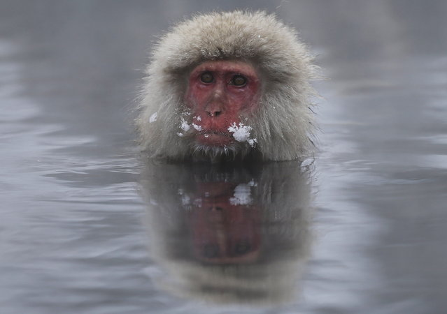 A Japanese Macaque (or Snow Monkey) soaks in a hot spring at a snow-covered valley in Yamanouchi town, central Japan January 20, 2014. (Photo by Issei Kato/Reuters)