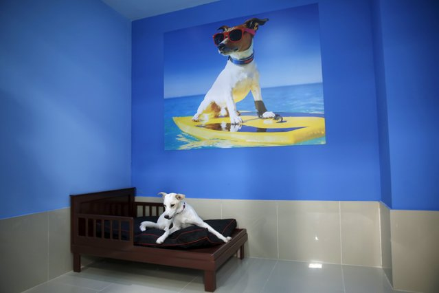 A dog sits on its bed at My Second Home, a newly opened luxury pet resort and spa, in Dubai, April 24, 2015. (Photo by Ahmed Jadallah/Reuters)