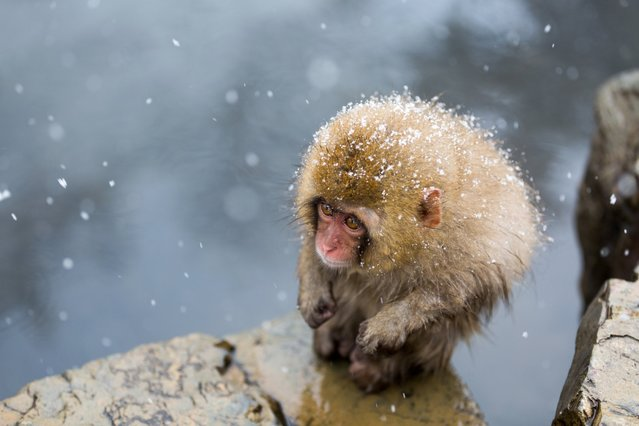 """A Little Monkey on the Cliff"". ""A cold front hit the Nagano prefecture. I saw a little monkey enduring the cold in Jigokudani Monkey Park. This little monkey is really cute"". (Photo by Hidetoshi Ogata/Smithsonian Photo Contest)"