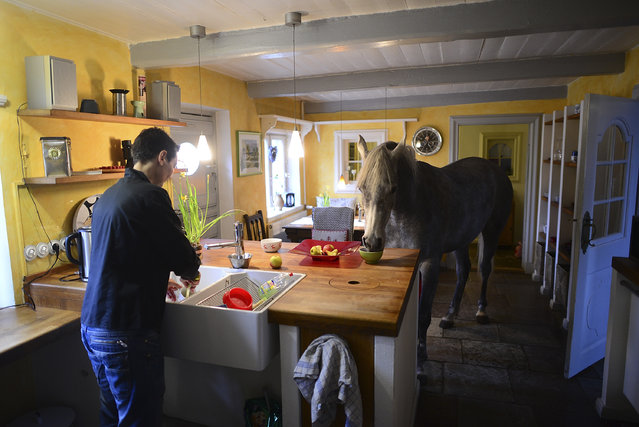 Nasar, an Arabian horse, eats in the kitchen in the house of doctor Stephanie Arndt on February 19, 2014 in Holt, Germany. (Photo by Patrick Lux/Getty Images)