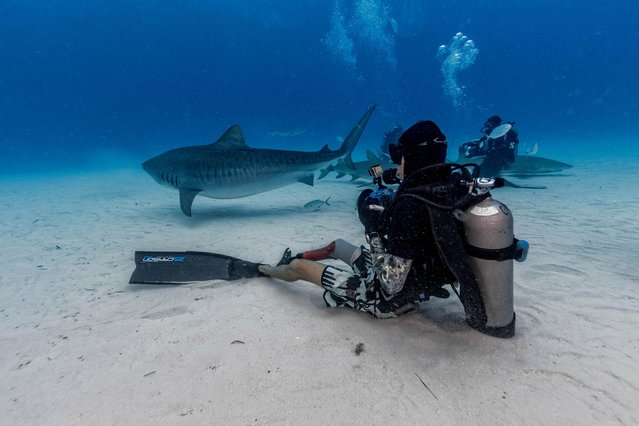 """The spectacular sequence shows the divers reaching out and even petting the 1,000-pound predators as the inquisitive beasts happily pose for the camera. Other pictures show the sharks appearing to swim with the divers as they move towards the water's surface. The photographs were taken at Tiger Beach, Grand Bahama by photographer, Steve Hinczynski (49) from Venice, Florida, USA. To take his images Steve used a Canon 7D Mark II camera equipped with Ikelite underwater housing. """"This particular shark diving expedition was a last-minute decision"""", said Steve. """"I've been on numerous shark expeditions before but what made this one different was we would have a first timer with us; this would be his first-time diving with big sharks without a cage. That by itself isn't uncommon but several years ago, he had been bitten by a Tiger shark while body boarding and lost his lower leg. While this may generate hatred in some people, he became an advocate for saving sharks, not killing them and I thought how could you not want to be in the water to share that experience"""". (Photo by Steve Hinczynski/Mediadrumworld)"""