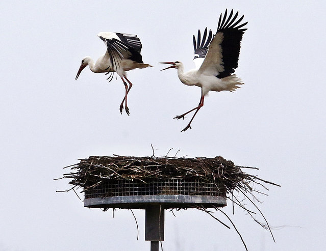 The stork at right chases away another stork from its nest in Biebesheim, south of Frankfurt, Germany, Monday, March 6, 2017. About 30 storks in the area are now looking for the right partner and nest. (Photo by Michael Probst/AP Photo)
