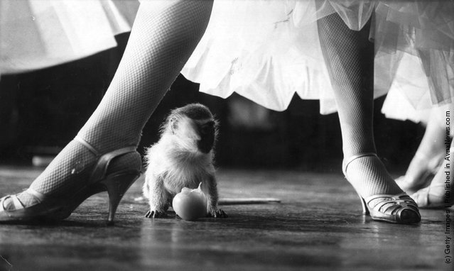 1970: The legs and high heels of a member of the cast of 'Tropical Paradise', a revue at the Pigalle, tower above a very small baby monkey