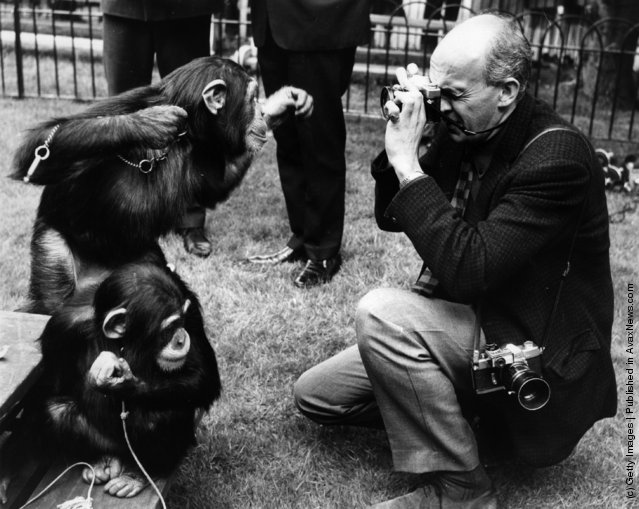 30th May 1968:  The chimps at London Zoo rehearse their parts in front of the press for the Tea Parties to be held at London Zoo