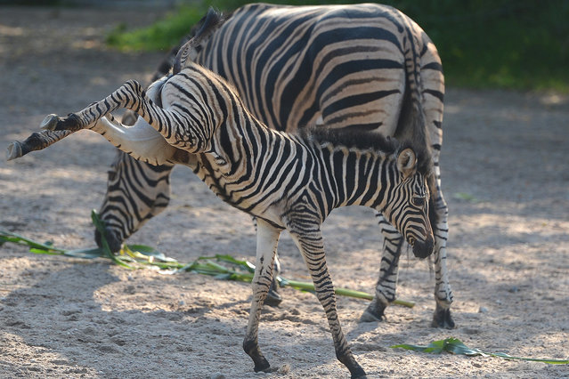 Baby zebra Jule explores the enclosure next to her mother Vicky at the Hagenbeck zoo in Hamburg, Germany, 31 August 2012. The young animal was born on 22 August 2012. (Photo by Marcus Brandt/DPA/ZUMA Press)