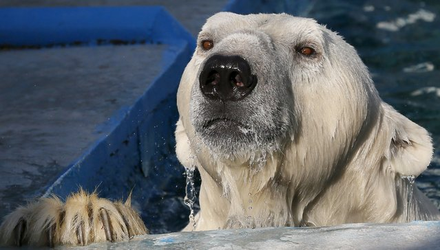 Felix, a 9-year-old male polar bear, looks out form a pool at the Royev Ruchey Zoo in the Siberian city of Krasnoyarsk, Russia, July 11, 2015. (Photo by Ilya Naymushin/Reuters)
