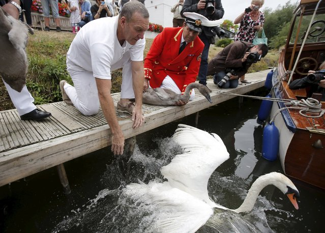 Swan Uppers return swans and cygnets to the water during the annual Swan Upping census along the river Thames, at Staines-on-Thames, southern England, Britain, July 20, 2015. (Photo by Peter Nicholls/Reuters)