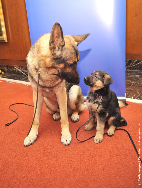 Commander, a German Shepherd adult (L) and Ziva, a German Shepherd puppy attend as American Kennel Club announces Most Popular Dogs in the U.S. at American Kennel Club Offices