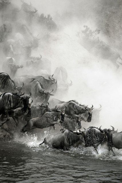 """""""Great migration"""". Gnu migration in Masai Mara National Reserve. Photo location: Kenya. (Photo and caption by Chenggang Zhou/National Geographic Photo Contest)"""