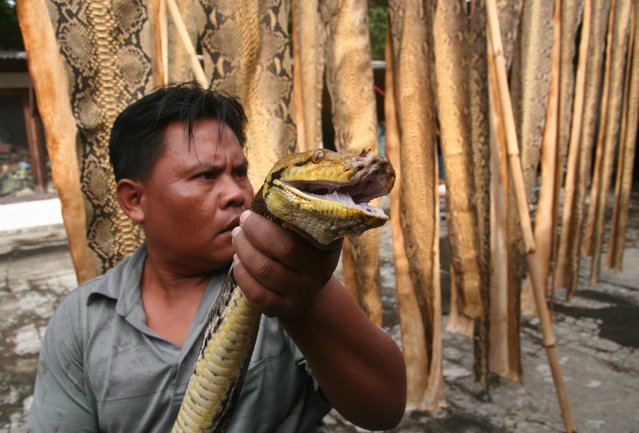 This picture taken on July 29, 2015 shows a man holding a python to be skinned for its hide in Banyuwangi, East Java. The hides of non-endangered snakes are used in the local handicrafts industry to be made into leather goods, while a percentage is exported out of the country. Europe is the biggest importer of snakeskin goods, while most of the skins come from Indonesia, Malaysia and Vietnam. (Photo by Aman Rochman/AFP Photo)