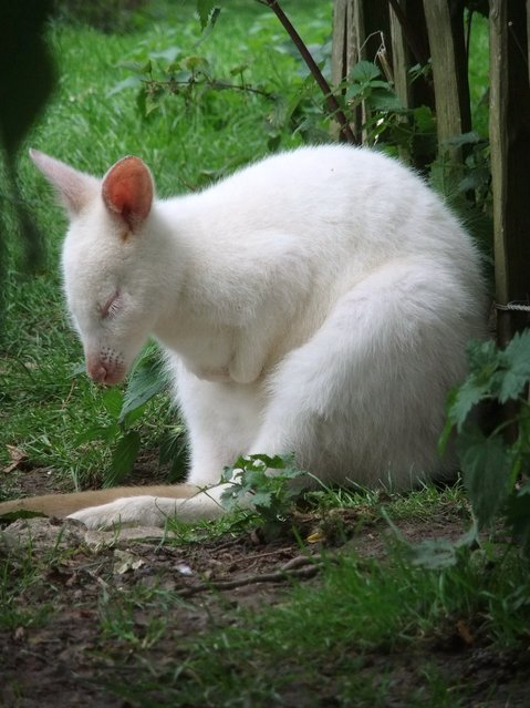 Sleeping White Kangaroo