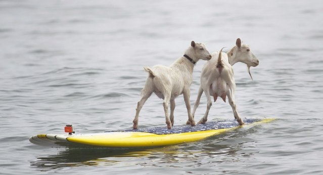 Goat herder Dana McGregor's goats Pismo, left, and Goatee surf at San Onofre State Beach, Calif., on July 11, 2012