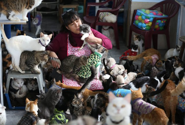 In this August 2, 2014 photo, Maria Torero, plays with a group of 175 cats with leukemia in her home in Lima, Peru. Torero says caring for cats with feline leukemia is her responsibility. Anybody else can care for healthy animals. (Photo by Martin Mejia/AP Photo)