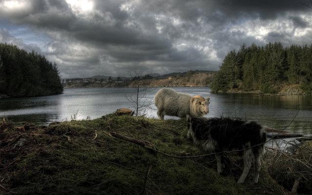 Goats at Bukkøy – Karmøy. (Photo by Geir Akselsen)