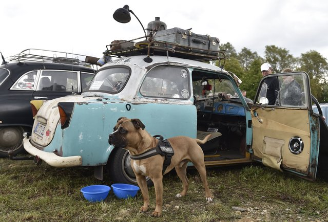 A dog stands guard nearby a Trabant car used as replacement spare source as fans of the East German Trabant car gather for their 7th annual get-together on August 23, 2014 in Zwickau, Germany. Hundreds of Trabant enthusiasts arrived to spend the weekend admiring each others cars, trading stories and enjoying activities. The Trabant, dinky and small by modern standards, was the iconic car produced in former communist East Germany and today has a strong cult following. (Photo by Matthias Rietschel/Getty Images)