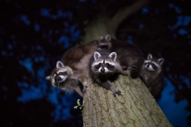 Fourth place, Mammals. Jan Piecha – Curious Glances. Raccoons, North Hesse. (Photo by Jan Piecha/2020 GDT Nature Photographer of the Year)