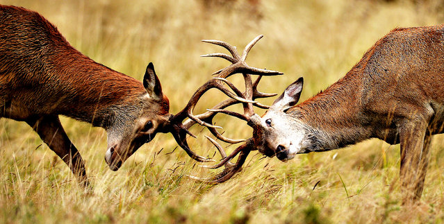 Two young Red deer stags practice their rutting in the long grass in Richmond Park, London, on September 1, 2014. (Photo by Andrew Matthews/PA Wire)