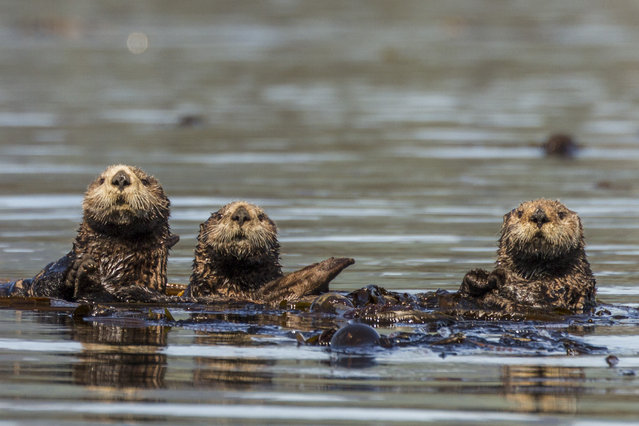 Three otters are pictured in the water, in June, 2014, on Kodiak Island, Alaska. Driving in an open-roofed jeep is no longer the fashionable way to see wildlife – as this adventurer shows. (Photo by Daniel Fox/Barcroft Media)