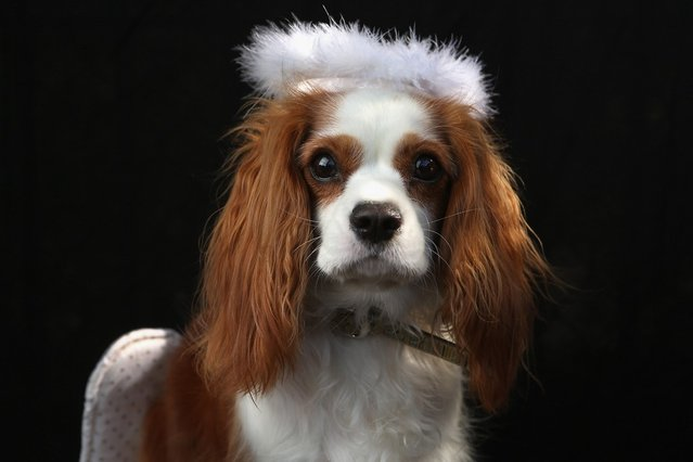King Charles Spaniel Daisy poses as an angel at the Tompkins Square Halloween Dog Parade on October 20, 2012 in New York City