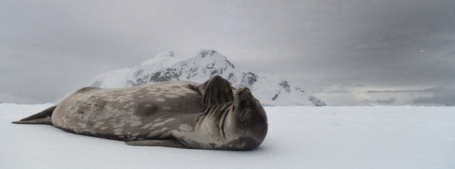 """""""Pondering Weddell"""". This Weddell Seal had hauled its self out onto a snowy ice shelf in the Antarctic Peninsula. At first it was fast asleep, but after some patient waiting it began to wake up. Upon waking the seal inquisitively scratched and popped its head up to get a better look at who I was and what i was doing. In this shot it appears to be placing its flipper towards its chin, as if in deep thought. Photo location: Antarctic Peninsula. (Photo and caption by Kristian Parton/National Geographic Photo Contest)"""