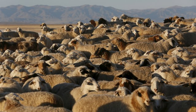A herd of sheep and goats gathers near a family farm near the Cheder Lake outside the village of Kur-Cher in Tuva region, Southern Siberia, Russia, October 8, 2015. (Photo by Ilya Naymushin/Reuters)