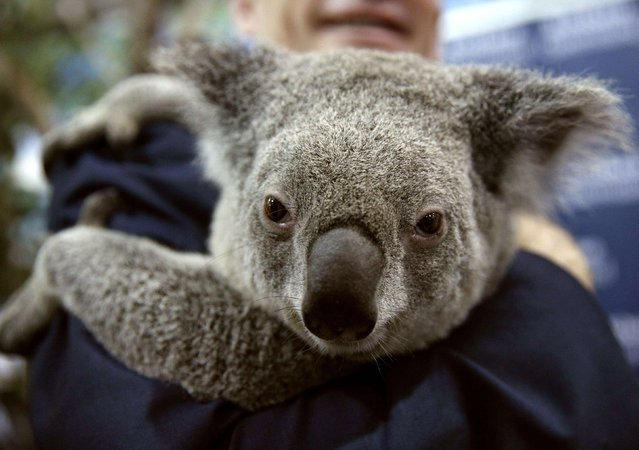Jimbelung, a two-year-old koala, is held in the media center at the G20 Summit in Brisbane November 16, 2014. Jimbelung and another koala became famous after being held by world leaders, including U.S. President Barack Obama and Russian President Vladimir Putin, at the summit on Saturday. (Photo by Kevin Lamarque/Reuters)