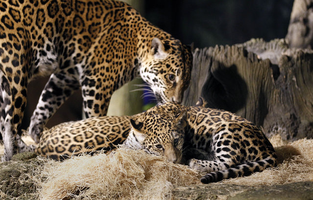 """In foreground B'alam and mother Stella and hidden in background is  Zean as they rest  in their enclosure at the  Milwaukee County Zoo .  Zean and B'alam  are the two newest jaguar cubs with the mother Stella who are now on public exhibit, at four months old. B' alam (who has larger and darker spots as well as a square space on her forehead showing no spots) name means """"Great and powerful king in Mayan.   Zean encompasses the Belize people living and working in Belize, with all cultures. She has smaller, almost greyish spots on her coat.  The names were revealaed at the Milwaukee County Zoo, Wednesday, March 13, 2013. Journal Sentinel photo by Rick Wood/RWOOD@JOURNALSENTINEL.COM"""