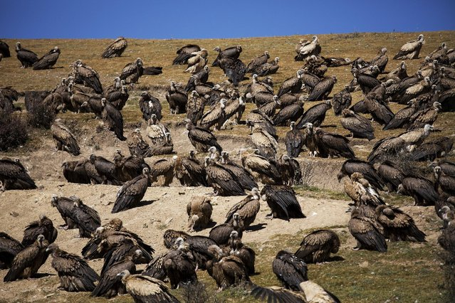 Vultures come from skies for a sky burial near the Larung valley located some 3700 to 4000 metres above the sea level in Sertar county, Garze Tibetan Autonomous Prefecture, Sichuan province, China October 31, 2015. (Photo by Damir Sagolj/Reuters)