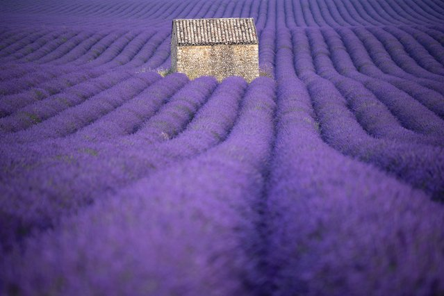 A picture taken on July 1, 2020 shows a field of lavander in Puimoisson, southern France. (Photo by Christophe Simon/AFP Photo)