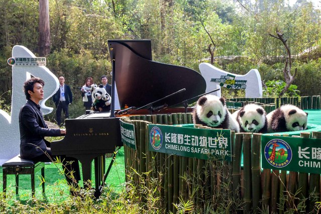 Chinese pianist Li Yundi plays the piano for the giant panda triplets during a naming ceremony at the Chimelong Safari Park in Guangzhou city, south China's Guangdong province, 15 December 2014. The world's only living panda triplets have finally been named, over three months after their birth at the Guangzhou Chimelong Safari Park. (Photo by Hu Wencheng/AFP Photo)