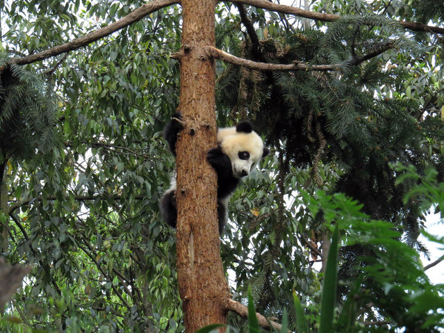 A giant panda climbs a tree in the Bifengxia Base of China Conservation and Research Centre for the giant panda after a magnitude 7.0 earthquake hit the city of Ya'an, southwest China's Sichuan province on April 20, 2013. About 60 shocked giant pandas are now under the care of breeders. More than 100 people were killed and 3,000 injured when a strong earthquake shook southwest China on April 20, wrecking homes and triggering landslides in an area devastated by a major tremor in 2008. (Photo by AFP Photo)