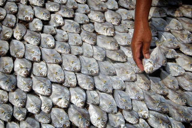 A worker puts a fish to dry in Demak, Central Java on December 23, 2014 in this photo taken by Antara Foto. (Photo by Andreas Fitri/Reuters/Antara Foto)