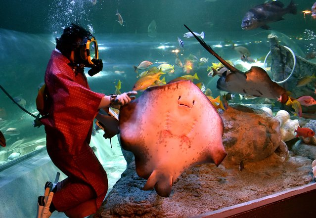 A female diver wearing a kimono feeds a ray during a new year feeding show at the Shinagawa aquarium in Tokyo on January 8, 2013. Visitors can watch the show until January 12. (Photo by Yoshikazu Tsuno/AFP Photo)