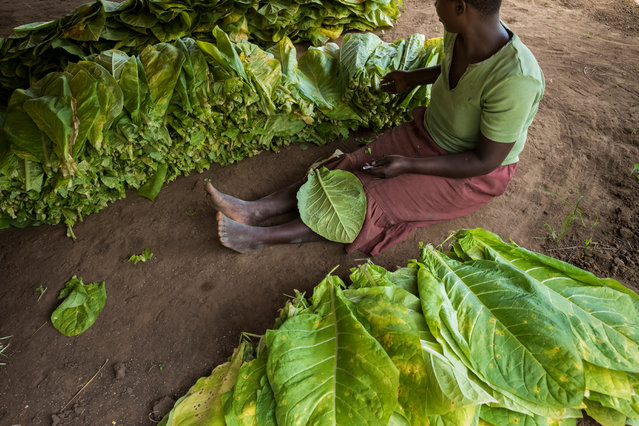 Sewing tobacco leaves in preparation for drying. (Photo by David Levene/The Guardian)