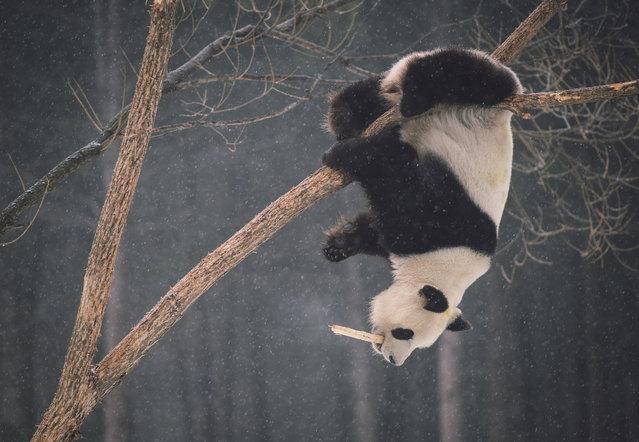 Giant panda Meng Meng plays on a tree at a Siberian tiger-breeding base in Changchun, China on December 10, 2015. (Photo by Xu Chang/Xinhua Press/Corbis)