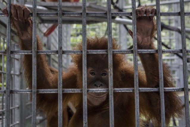 A Sumatran orangutan (Pongo abelii) is seen inside a cage at Sumatran Orangutan Conservation Programme's rehabilitation center on November 10, 2016 in Kuta Mbelin, North Sumatra, Indonesia. SOCP said that aside from habitat loss, another major threat to orangutans is the illegal animal trade, as baby orangutans demand a high price. (Photo by Ulet Ifansasti/Getty Images)
