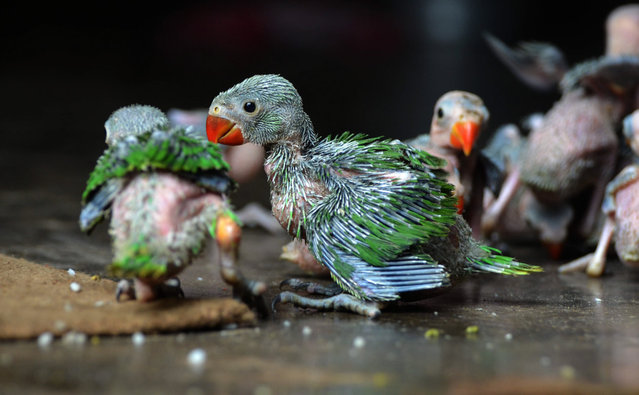 Baby Parrot are seen after they were caught and preserve by local hunter for sale at a private resident in Dimapur, India north eastern state of Nagaland on Wednesday, July 24, 2013. Wildlife were hunted down for consumption or for sale in the India eastern state of Nagaland, which make a living for the hunter. (Photo by Caisii Mao/NurPhoto/Sipa USA)