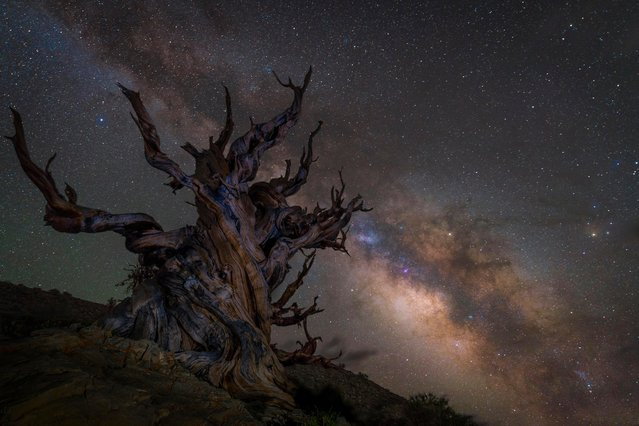 The Milky Way rises over some of the oldest trees on Earth in the Ancient Bristlecone Pine Forest, California, shot by the UK's Jez Hughes. (Photo by Jez Hughes/Astronomy Photographer of the Year 2018)