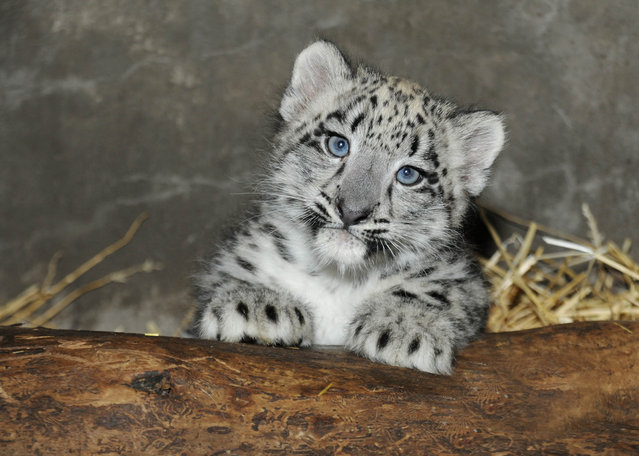 A 2-month-old snow leopard cub is photographed by the press at the Brookfield Zoo in Illinois. The cub was born on June 13. (Photo by Chicago Zoological Society via Reuters)