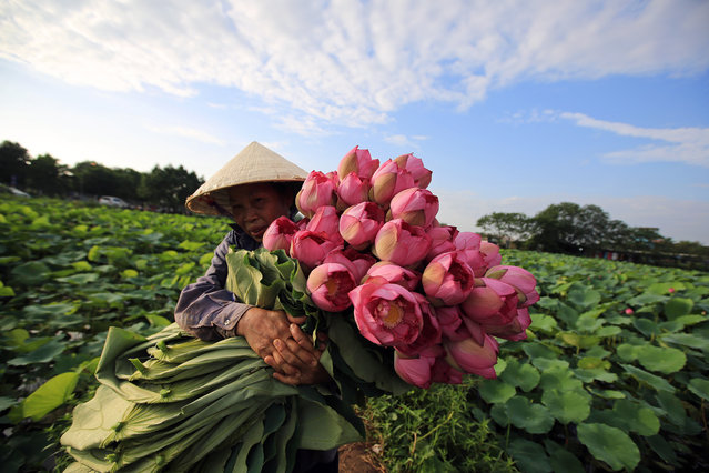 A woman collects lotus flowers at a lake in Hanoi, Vietnam, 20 June 2018. Lotus flowers, that bloom every June, are collected by Vietnamese people for their inner parts to be mixed with tea for fragrance. (Photo by Luong Thai Linh/EPA/EFE)