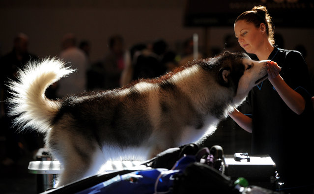 An alaskan malamute is prepared to compete on the second day of Crufts dog show at the National Exhibition Centre in Birmingham, England, Friday March 6, 2015. First held in 1891, Crufts is said to be the largest show of its kind in the world, the annual four day event features thousands of dogs competing for the coveted title of 'Best in Show'. (AP Photo/Rui Vieira)