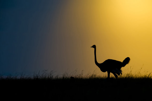 Using his camera skills, Marc meters the background sky in order to achieve the beautiful black silhouettes of the wildlife, Africa, 2010-2016. A photographer has travelled around Africa for six years to capture striking silhouettes of lions, giraffes and birds. Australian wildlife photographer, Marc Mol took the series of pictures in various areas of Africa; including Botswana and Kenya to Tanzania and Zambia. Whether grazing, hunting or resting, the animals' daily activities are transformed into something majestic when cast against golden evenings and pink dawns. (Photo by Marc Mol/Barcroft Images)