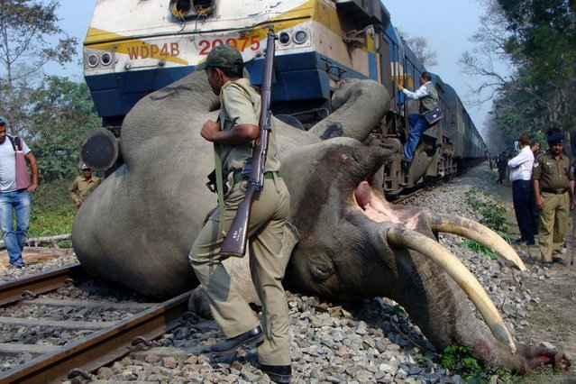 An Indian forestry worker walks past the body of a tusker elephant after it was struck by a train at the Buxa Tiger Reserve, some 12 kms from Alipurduar on March 5, 2013. (Photo by AFP Photo)