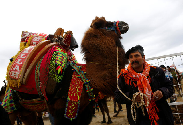 A wrestling camel is escorted by his groom before a fight at the Pamucak arena during the annual Selcuk-Efes Camel Wrestling Festival in the Aegean town of Selcuk, near Izmir, Turkey, January 15, 2017. (Photo by Murad Sezer/Reuters)