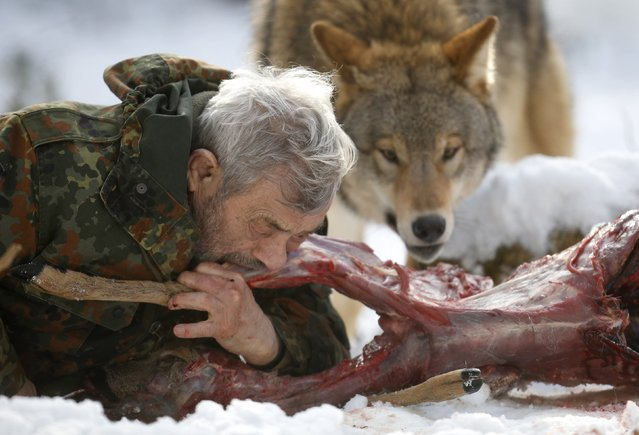 Wolf researcher Werner Freund bites into a deer cadaver next to a Mongolian wolf in an enclosure at Wolfspark Werner Freund, in Merzig in the German province of Saarland January 24, 2013. Freund, 79, a former German paratrooper, established the wolf sanctuary in 1972 and has raised more than 70 animals over the last 40 years. (Photo by Lisi Niesner/Reuters)