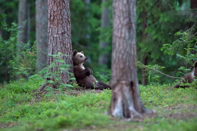 In a Finnish boreal forest near the Russian border, a brown bear cub rests against a tree after a long evening of playing with other young bears. This playful picture, taken by Erik Mandre, was a Your Shot hit twice over: National Geographic's photo editors chose it in March for the online Daily Dozen, then published it again in October in the magazine. (Photo by Erik Mandre/National Geographic)