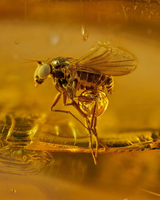 Honourable mention: an amber series project displays tiny insects no more than 3mm long that have been encapsulated within hardened tree sap for 45 million years. (Photo by Levon Biss Photography Ltd./Nikon Small World Photomicrography 2021)