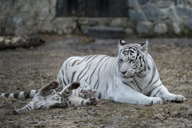 A white Bengal tiger cub plays with its mother in a zoo in the Siberian city of Novosibirsk, about 2,800 kilometers (1,750 miles) east of Moscow, Russia, Tuesday, April 21, 2015. (Photo by Ilnar Salakhiev/AP Photo)