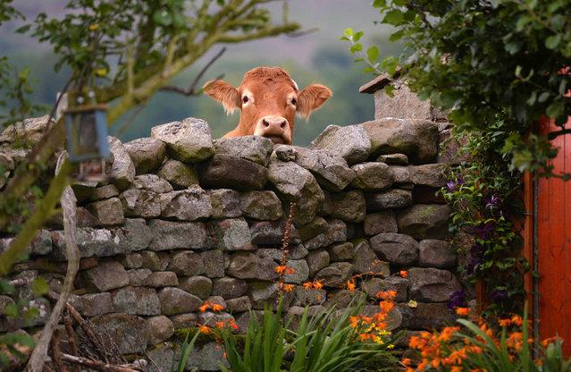 Cow in the Eden valley, Cumbria, September 2018. (Photo by Mark Stewart/BPPA)